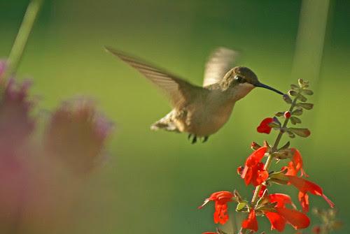 4-3-08-Hummingbird_filtered