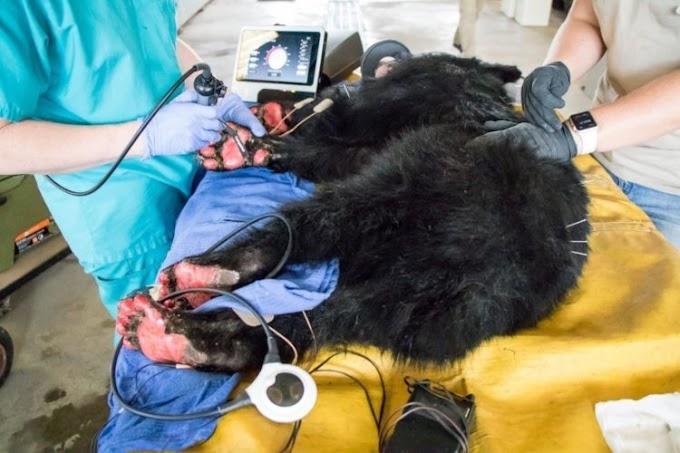 Un extraño tratamiento con piel de pescado salva a 2 osos y 1 león de terribles quemaduras