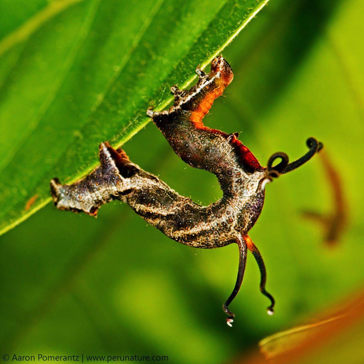 Nematocampa-caterpillar