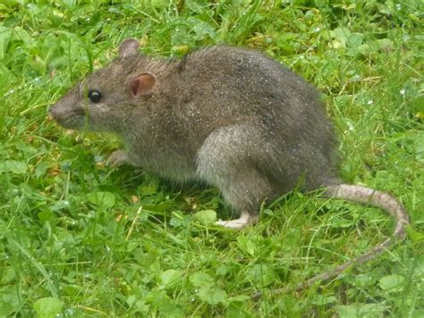 Rats In The Garden: Do Rats Rummage In Gardens And Where Do Rats Live In The Garden