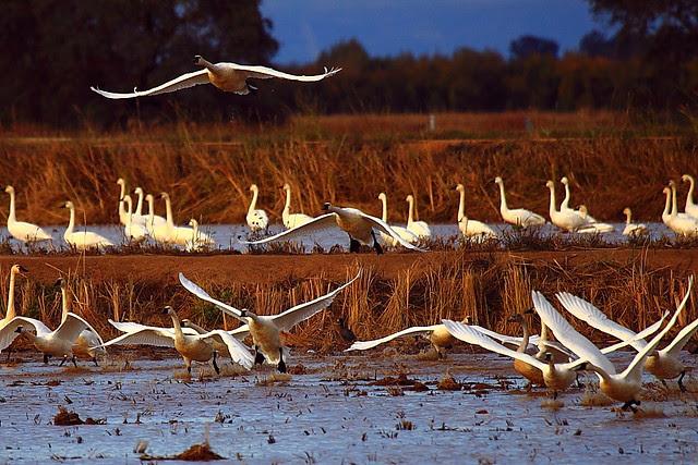 IMG_4478 Tundra Swan