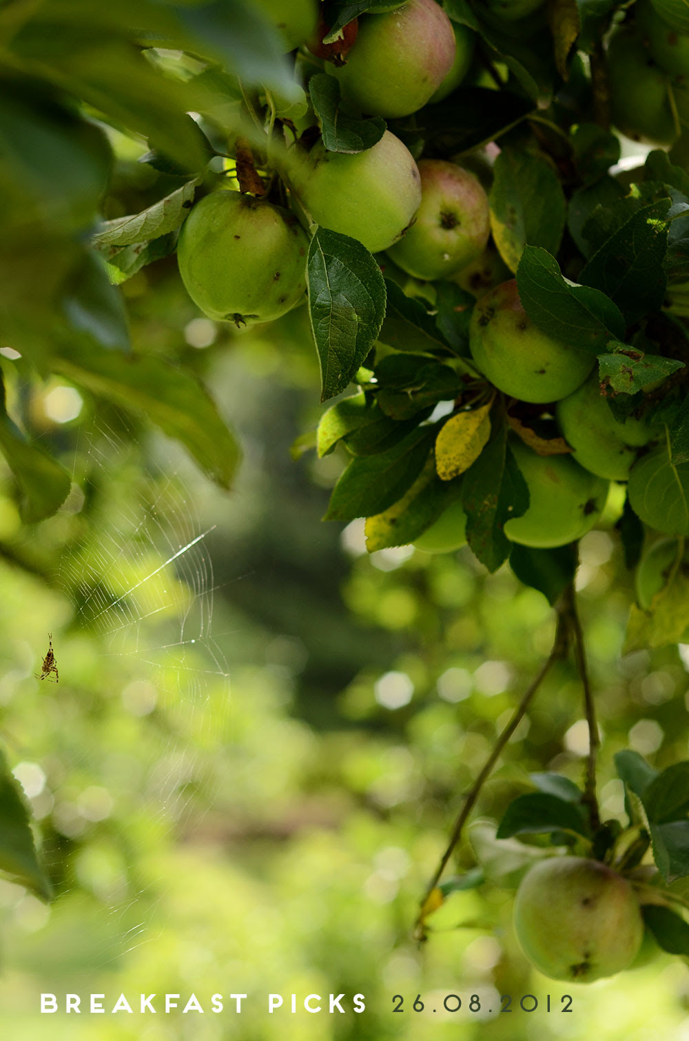 Augustäpfel / Apples in my grandmother's garden
