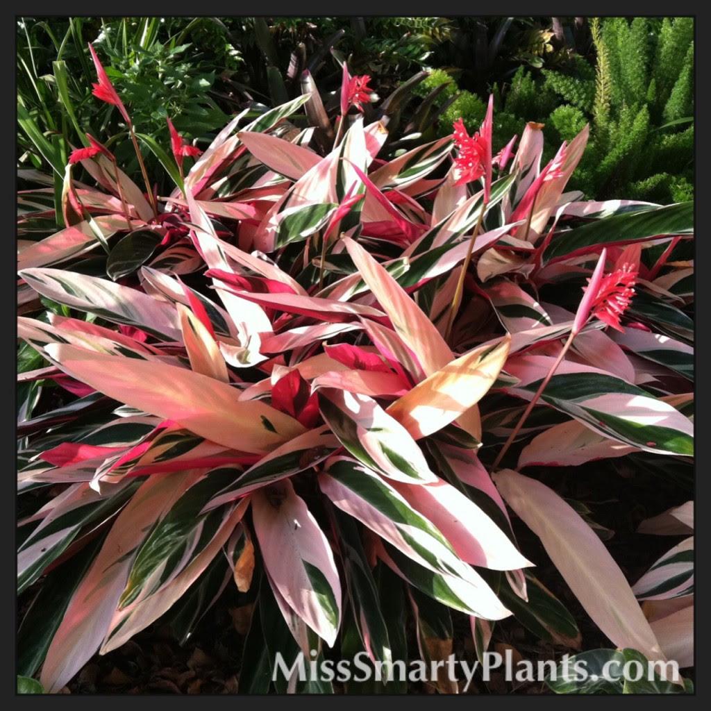 Triostar Stromanthe Miss Smarty Plants