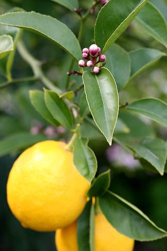 buds and lemons