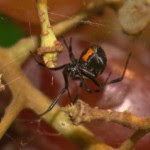 hi-black-widow-spider