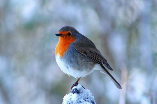 bird, cute, robin, snow, winter