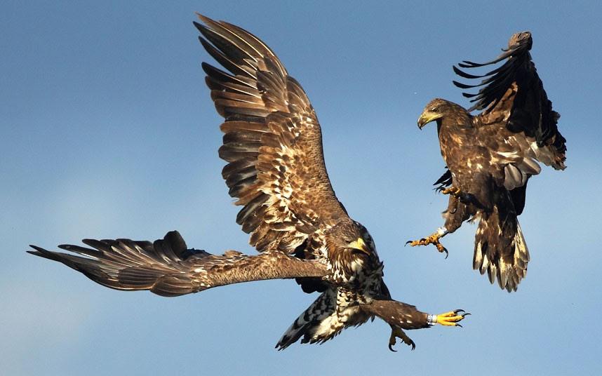 Δύο αετοί σε μια εναέρια μάχη