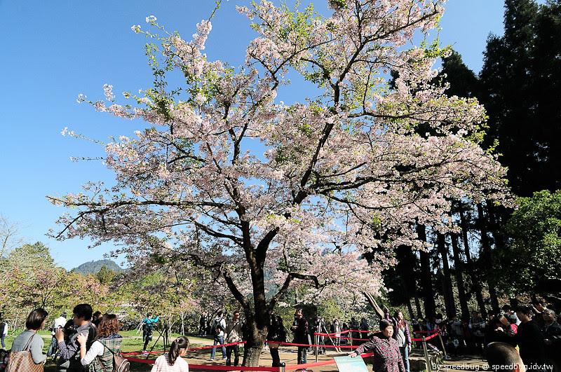 阿里山櫻花季77