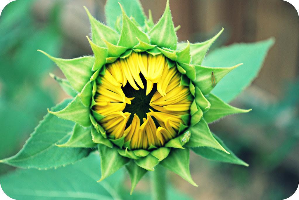 bloomingsunflowers6