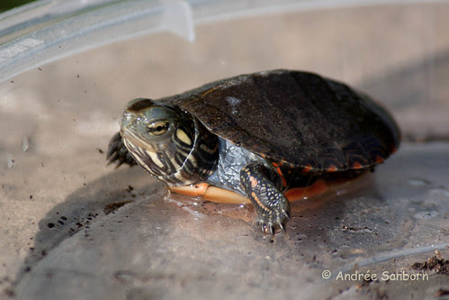 Our Baby Painted Turtle (Chrysemys picta)-3.jpg