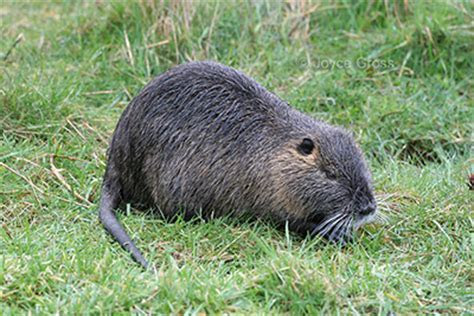 California?s Invaders: Nutria