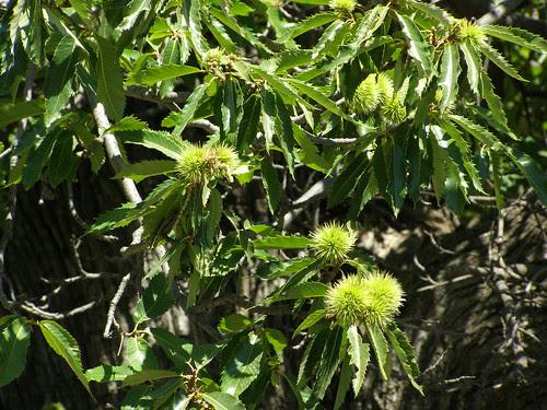 chestnut tree elos hania chania