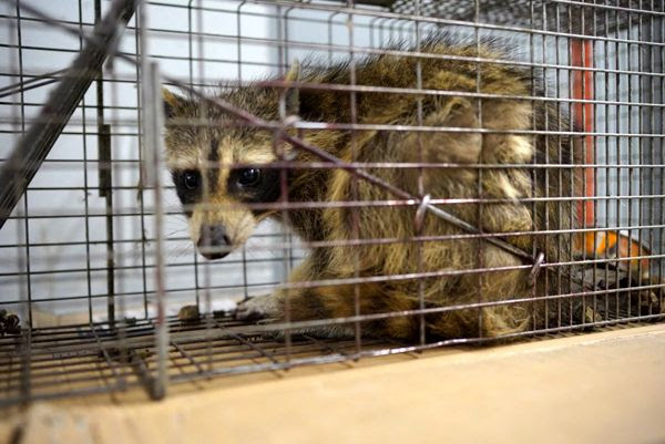A snapshot of MPR Raccoon sitting inside a cage after reaching the rooftop of the UBS Tower in St. Paul, Minnesota...on June 13, 2018.