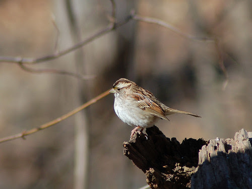 Song Sparrow in Central Park Ravine