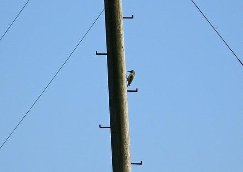 12238 - Green Woodpecker, Pontarddulais
