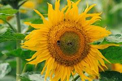 Bee on Sunflower, Otis P. Motley