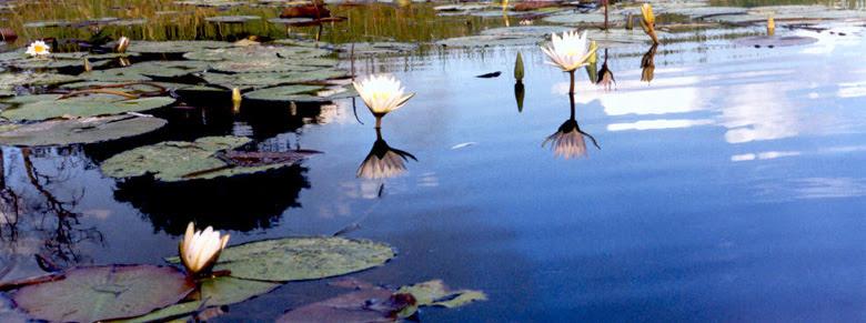 Ficheiro:Okavango Water Lillies.jpg