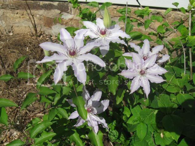 clematis by kitchen window and Endlesss Summer Hydrangea photo IMG_0185_zps9f3e98f5.jpg