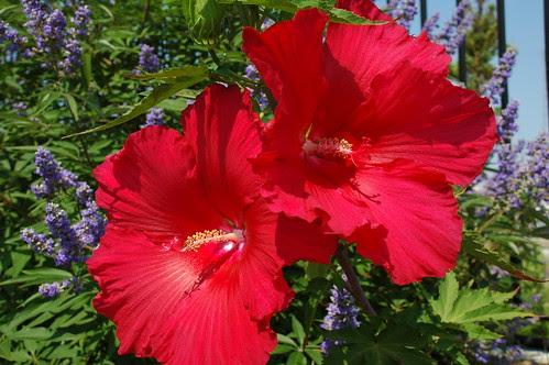 Hibiscus, Pier 44 Waterfront Garden