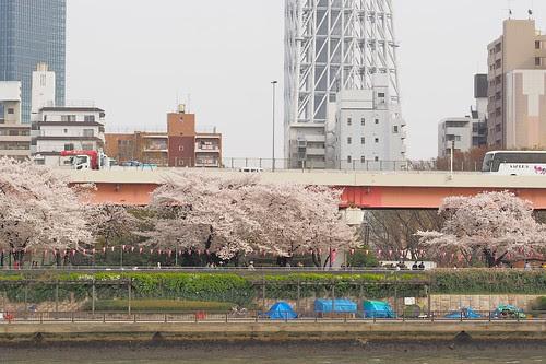 墨堤の桜並木と三囲神社とスカイツリー