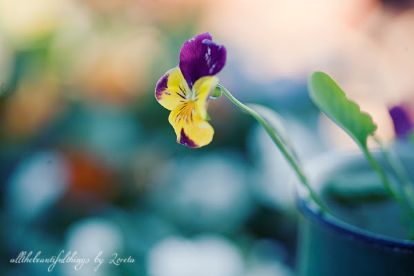 Pansy  ♥