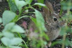 rabbit 053