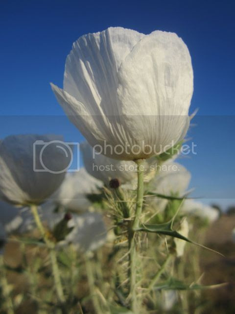 Prickly Poppy.May 2014 photo pricklypopchurch_zps24e6a23b.jpg
