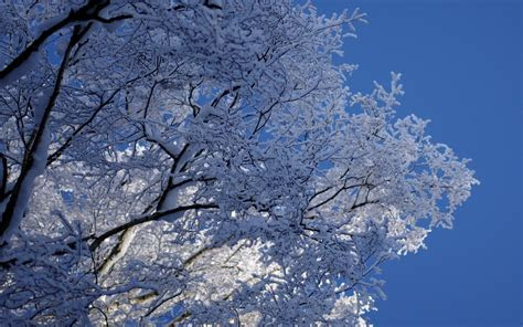 ice blue winter snow trees frost branches skies wallpaper