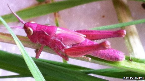 Pink grasshopper spotted in Wiltshire