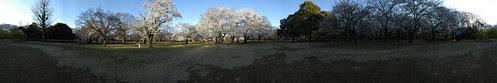 Cherry Blossom - Panorama 6