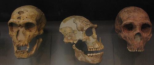 Cráneos neandertales, por leted
