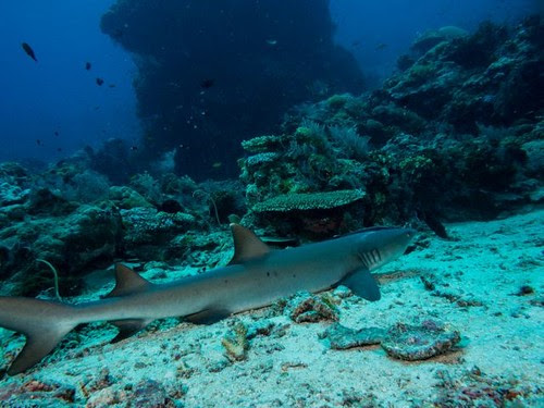 A white tip reef shark which we played hid and seek with. Got within 1m distance! by Ms N