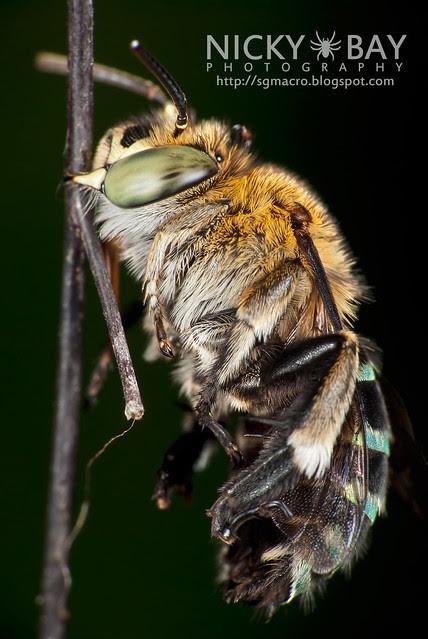 Sweat Bee (Amegilla sp.?) - DSC_0922