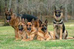Anjing terkenal sebagai binatang peliharaan di rumah dengan banyak tugas  mulai dari berburu Jenis Anjing Paling Populer di Dunia