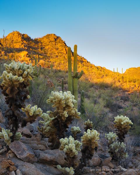 Teddy bears and Saguaro cactus