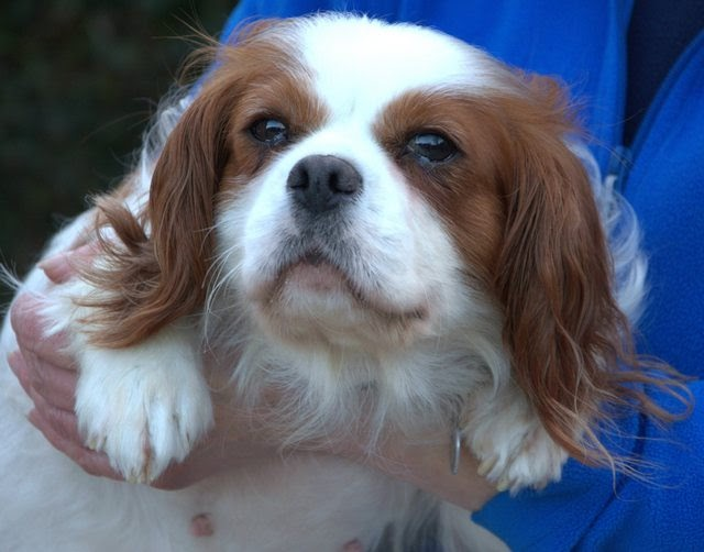 Joy – 4-5 year old female Cavalier King Charles Spaniel