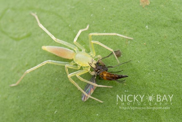 Sac Spider (Clubionidae) - DSC_6717