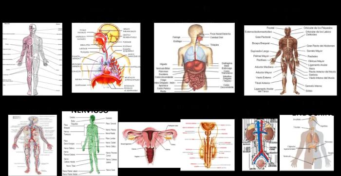 Cuerpo humano que es el cuerpo humano for Medidas ergonomicas del cuerpo humano