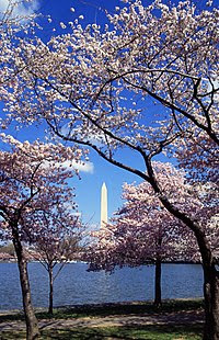 Sakura in Washington, D.C.