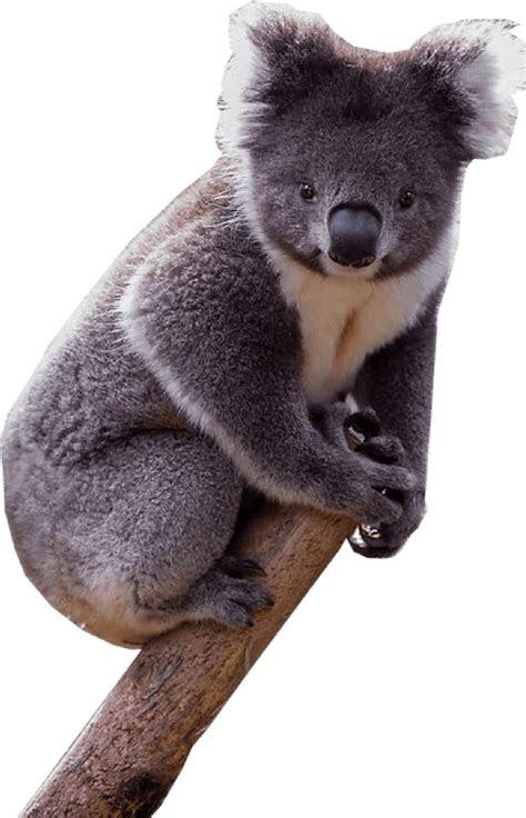 koala png transparent image  transparent png images