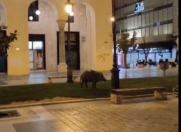 Αγριογούρουνο έκοβε βόλτες μέσα στην Πλατεία Αριστοτέλους