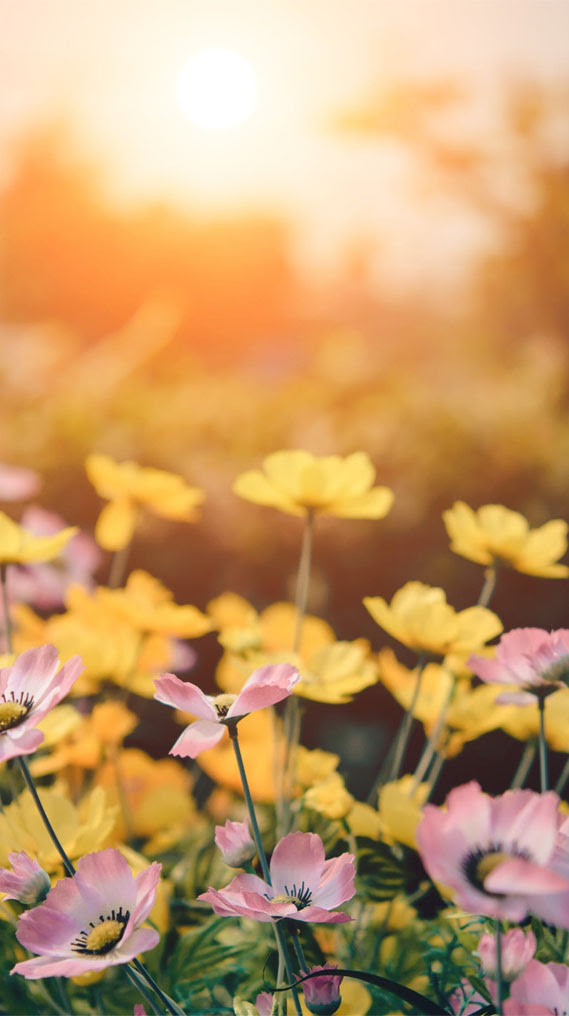 Pink And Yellow Flowers Captured During Golden Hour Idea Wallpapers Iphone Wallpapers Color Schemes