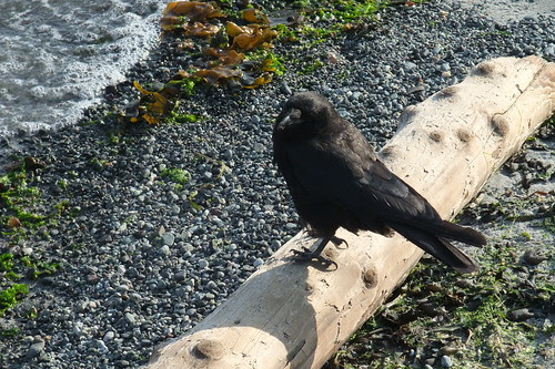 crow by water