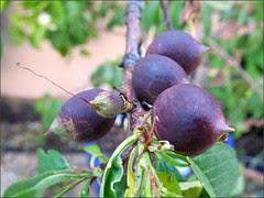 Nectarines-to-be