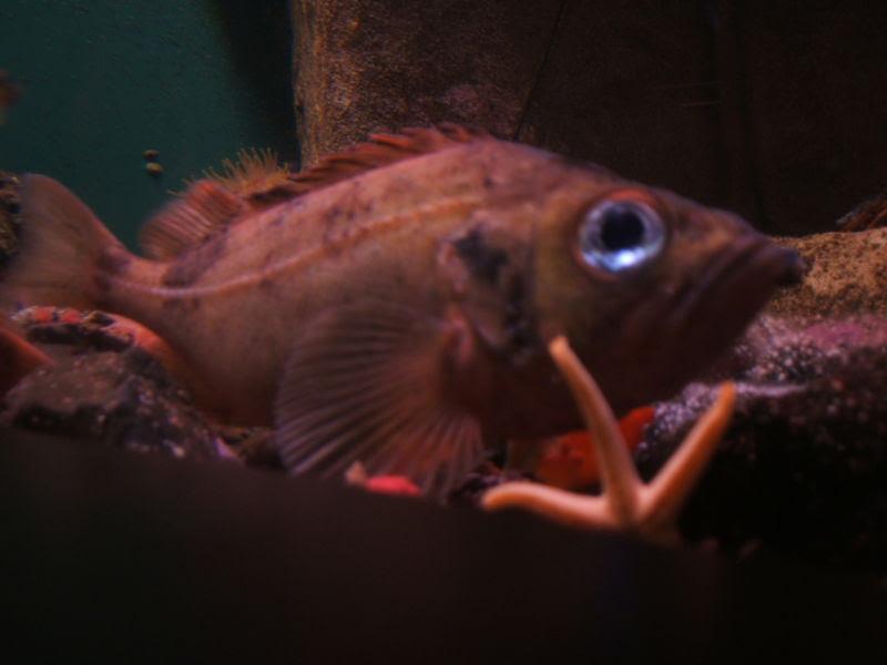 File:Sebastes-marinus-aquarium.jpg
