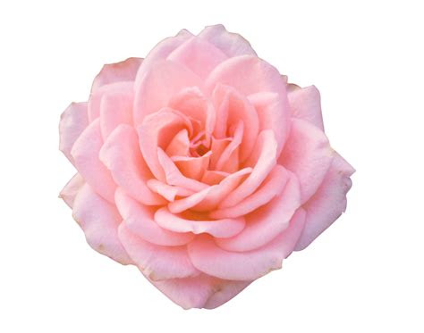 pink rose png hd   searchpngcom