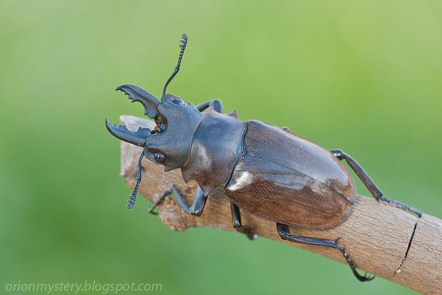 IMG_8220 copy stag beetle, female Odontolabis dalmanni