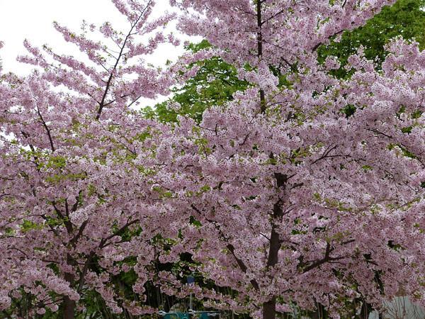 arbre fleuri.jpg