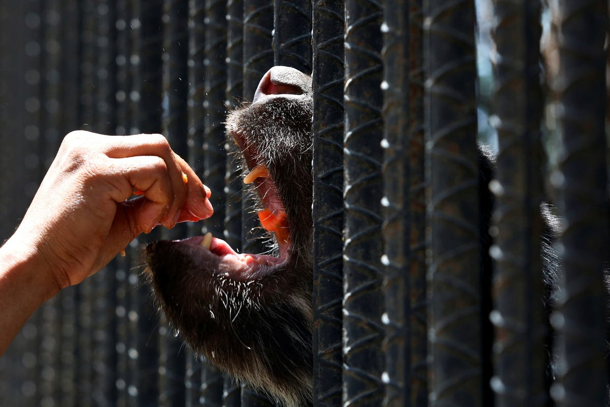 Three animals died in May at a zoo in Paraguana. The six bears at the zoo are eating only half of their required portion of food for the day.