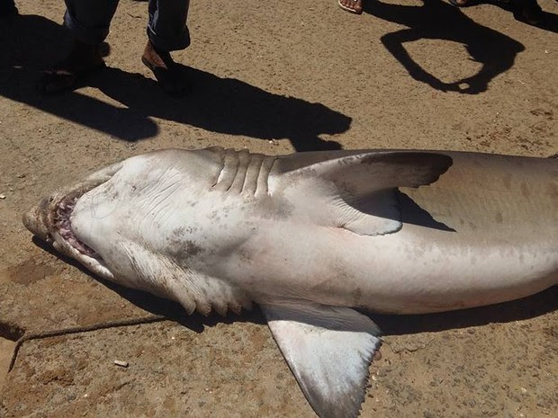 Tubarão foi capturado no mar de Guarapari (Foto: Renato Ferraz/ Portal 27)